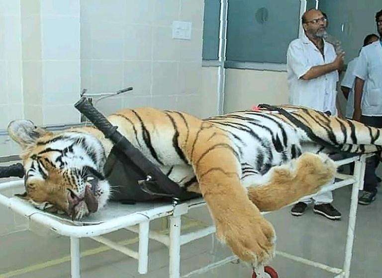 Una tigresa que asesinó a 13 personas fue abatida de un disparo en la India