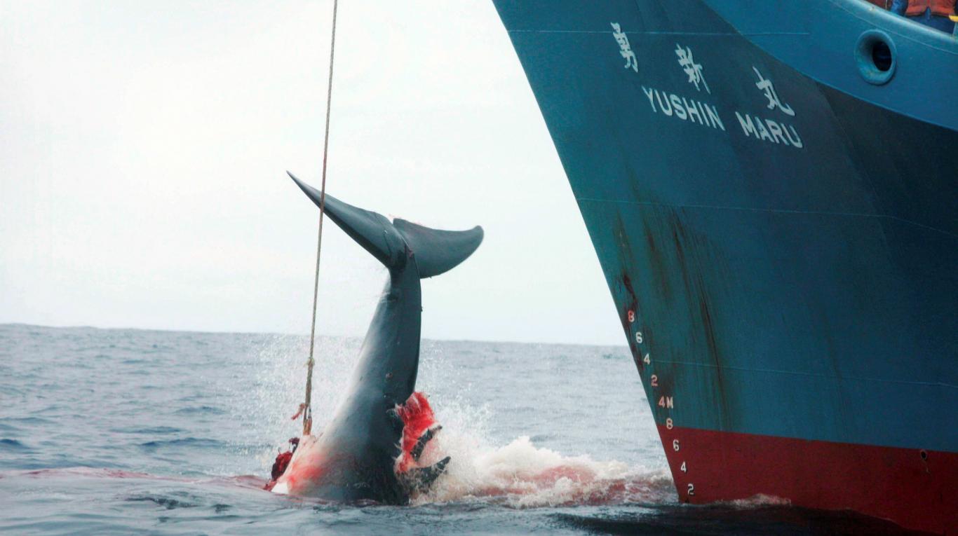 Japón retomará abiertamente la caza comercial de ballenas