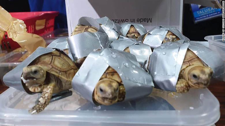 Encuentran alrededor de 1.500 tortugas vivas empacadas en maletas en un aeropuerto de Filipinas