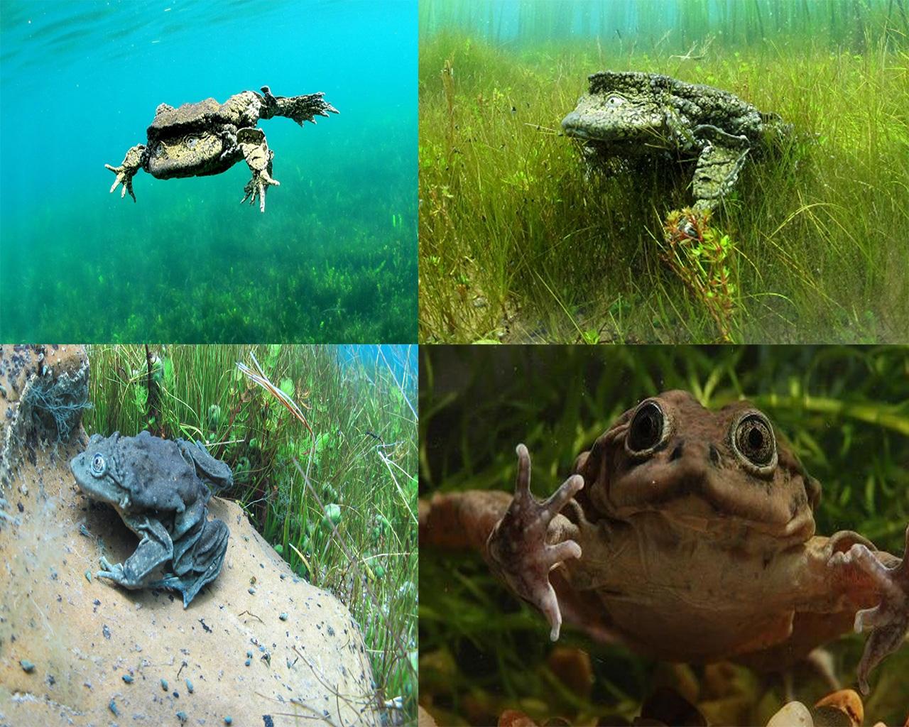 Inaugurarán este domingo un acuario de ranas gigantes en el zoológico Vesty Pakos