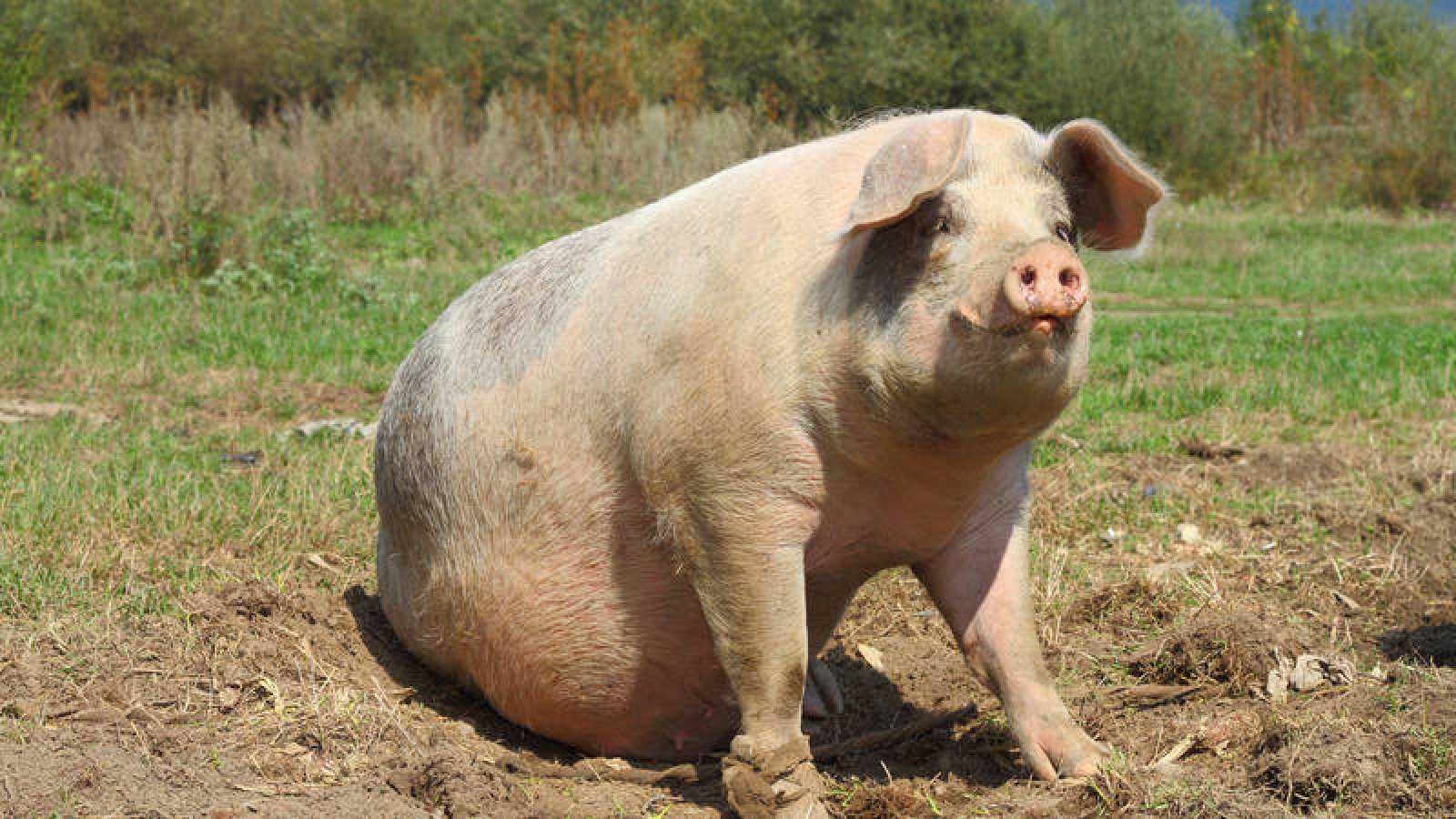 China cría cerdos gigantes para enfrentar la escasez porcina