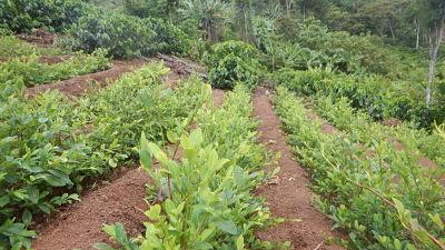 UNODC registra un incremento del 10% de cultivos de coca en el país en 2019