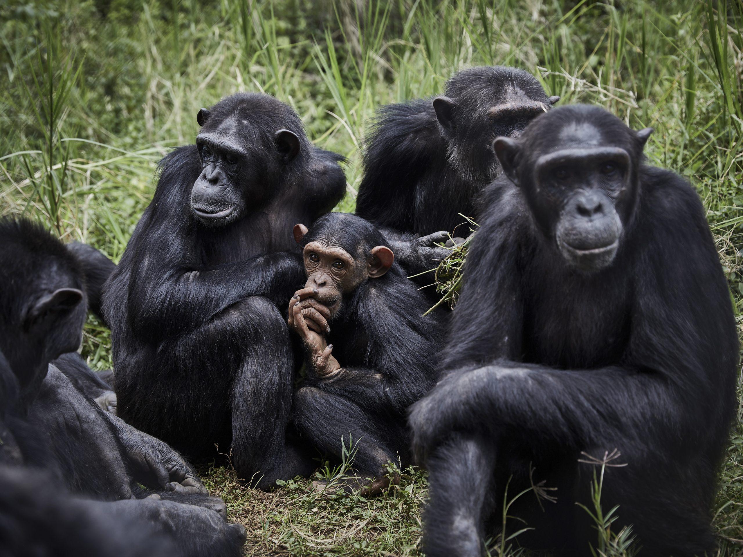 Descubren una bacteria letal que afecta a chimpancés y podría transmitirse a humanos
