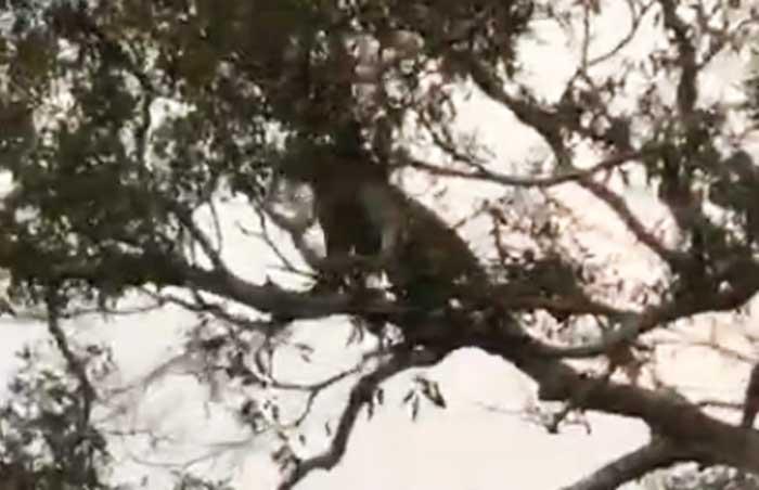 Denuncian el biocidio de un jaguar a manos de cazadores en el oriente boliviano