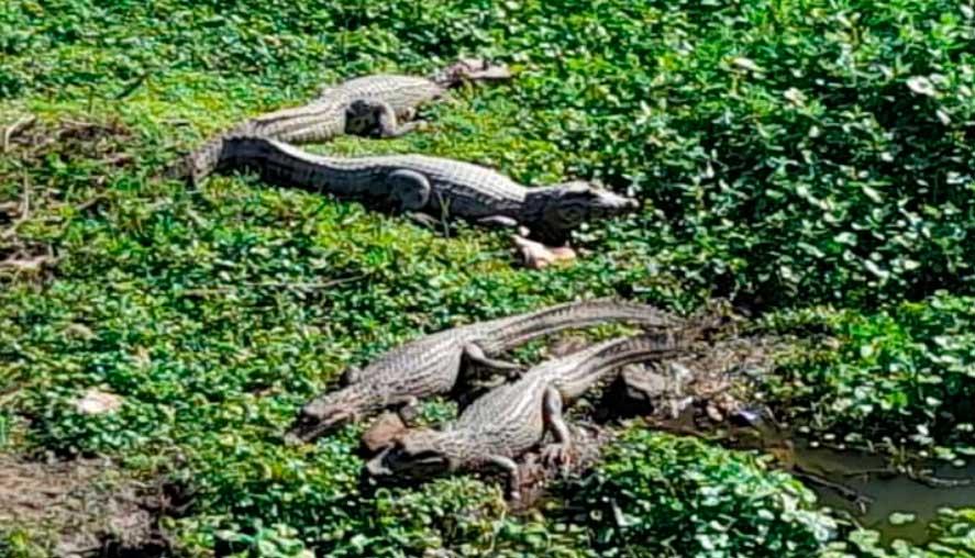 Santa Cruz: Expansión de la urbe ocasiona que lagartos ocupen un canal de drenaje